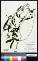 Abrus precatorius image