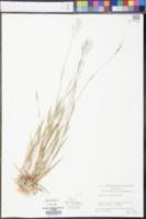 Panicum unciphyllum image