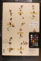 Erythranthe charlestonensis image