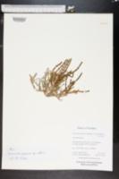 Image of Sarcocornia natalensis
