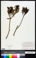 Image of Borrichia arborescens