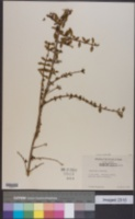 Image of Ligustrum delavayanum
