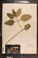 Image of Psychotria punctata