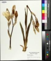 Iris flavescens image