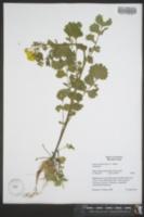 Packera glabella image
