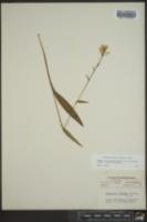Platanthera clavellata image