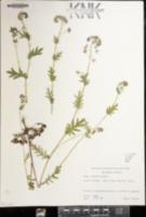 Phacelia purshii image