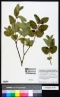 Lonicera utahensis image