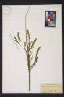 Image of Myricaria germanica
