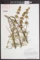 Image of Monarda fruticulosa