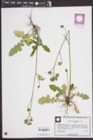 Youngia japonica image