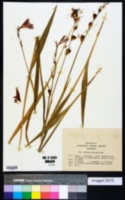 Image of Gladiolus palustris