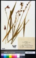 Gladiolus palustris image
