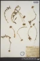 Erigeron ursinus image