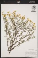 Image of Oncosiphon piluliferum