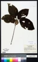 Collinsonia anisata image