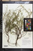Image of Dicerandra frutescens
