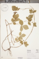 Rubus enslenii image