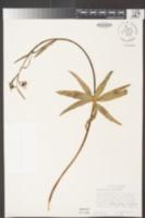 Fritillaria brandegeei image