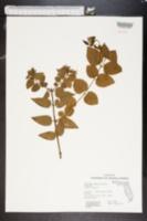 Jasminum simplicifolium image