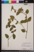 Commelina benghalensis image