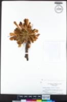 Lewisia serrata image