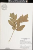 Lindera glauca image