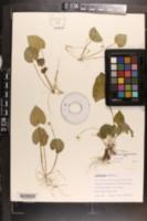 Image of Viola blanda