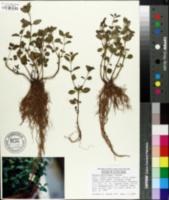 Image of Rhexia parviflora
