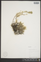 Image of Artemisia krushiana