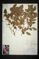 Image of Vaccinium carolinianum