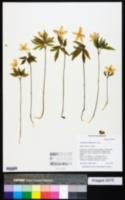 Image of Anemone oregana