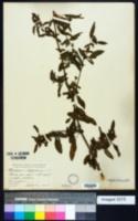 Chenopodium polyspermum image