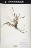 Image of Lindsaea jamesonioides