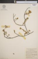 Image of Euphorbia buxifolia
