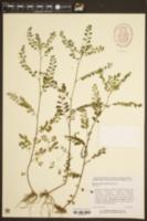 Phyllanthus tenellus image