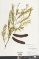 Acacia pennatula image