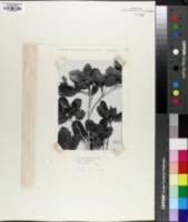 Quercus sebifera image