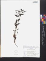 Centaurium umbellatum image