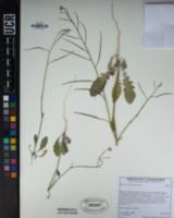 Image of Brassica tournefortii