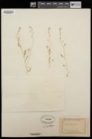 Image of Capsella procumbens