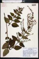 Condea floribunda image
