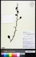 Ruprechtia triflora image