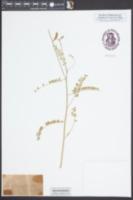 Image of Astragalus michauxii