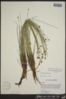 Eleocharis tortilis image