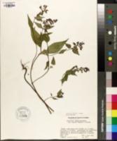 Image of Melampyrum roseum