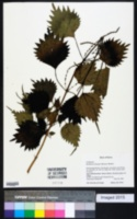 Boehmeria japonica image