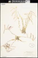 Arabis lemmonii image