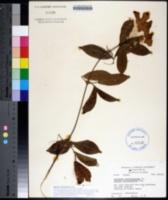 Image of Bignonia callistegioides