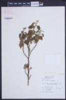 Waltheria indica image